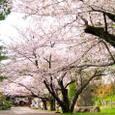 行きずりの神社閑雅の花盛