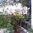 曼珠沙華白きは月の下に咲く