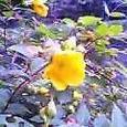 木洩日や金糸梅咲くひとところ