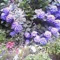 紫陽花の変化の果の土の色