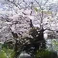 朝桜かなしきまでにまぶしけれ