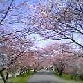 喧騒のやがて始まる朝桜