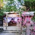 紅梅や白木造りの社殿の香
