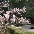 参道をリヤカーが行く朝桜