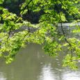 池の面に梢ひろごる楓の実