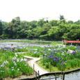 勾玉のかたちの池の花菖蒲