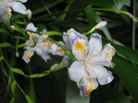 堂裏の綺麗に掃かれ著莪の花