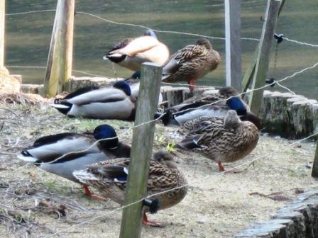 春の鴨つがひつがひの離れざる