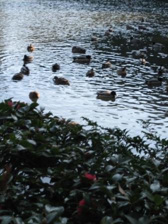神の守る勾玉池や浮寝鳥