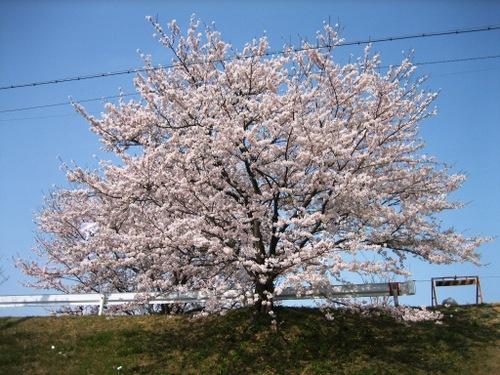 伊勢はいま桜吹雪のしきりなる