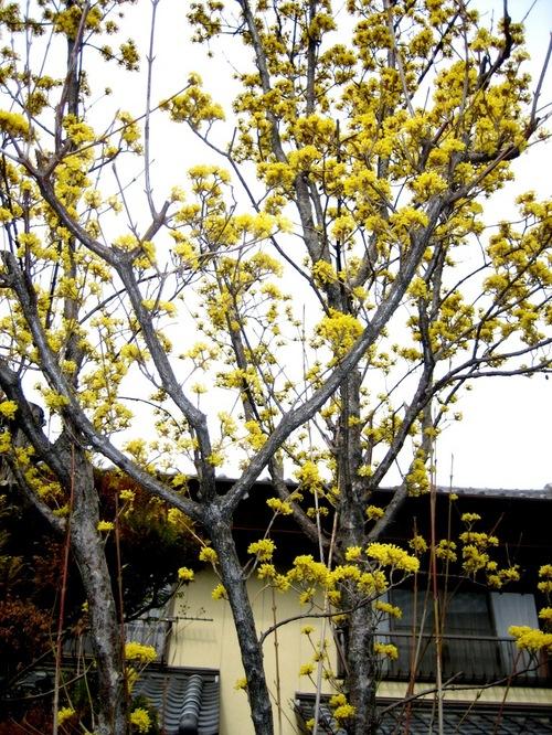 山茱萸の黄の深閑と屋敷町