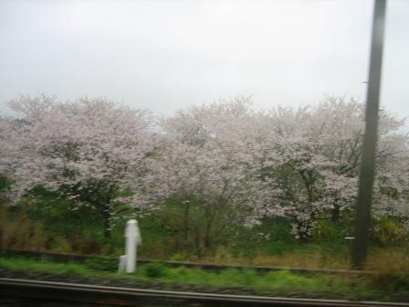 微睡みつ覚めつ車窓の桜かな