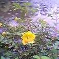 金糸梅勾玉池の奥暗む