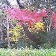 紅葉且つ散つていよいよ色の濃き