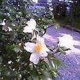 山茶花の散り急がねば次々咲く