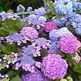 紫陽花の雨や妹への文にじみ