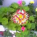 町内の神社親しき菊花展