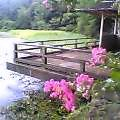 百日紅勾玉池に咲き残る