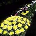 菊花展懸崖のまだ蕾なる