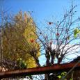 青空に包まれて柿熟れ残る