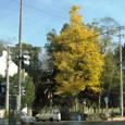 神還る径を散り敷く銀杏の黄