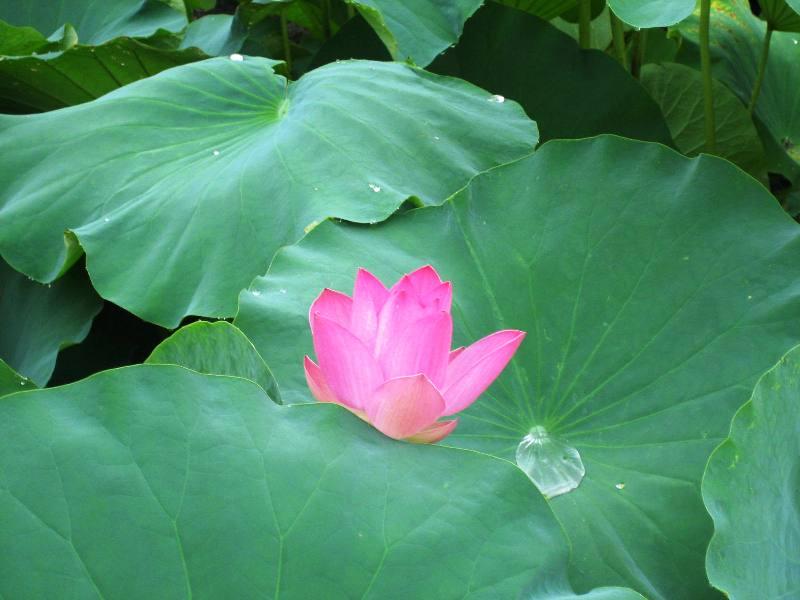 雨粒の葉にころころと古代蓮