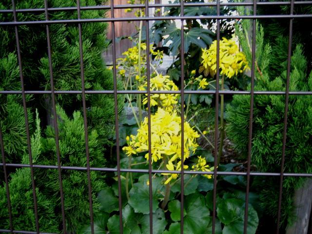 花石蕗の日向の黄また日蔭の黄