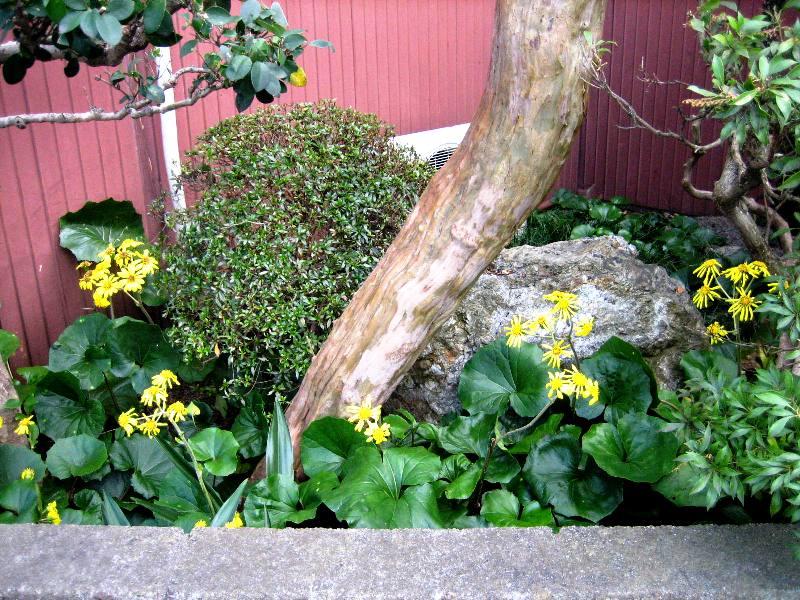 神垣に抜ける路地裏石蕗の花