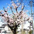 枝伐られ伐られ街路の桜かな