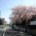 堤までゆく町中の桜さくら