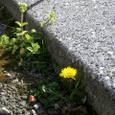 石畳たんぽぽ一輪咲く隙間