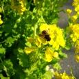 虻金色菜の花の色吸ひをれば