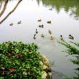 一群の鴨や雄雌同じ数