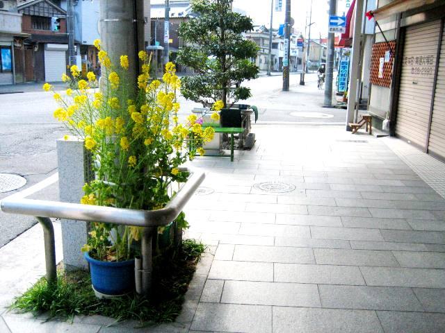 花菜咲く親子二代の通学路